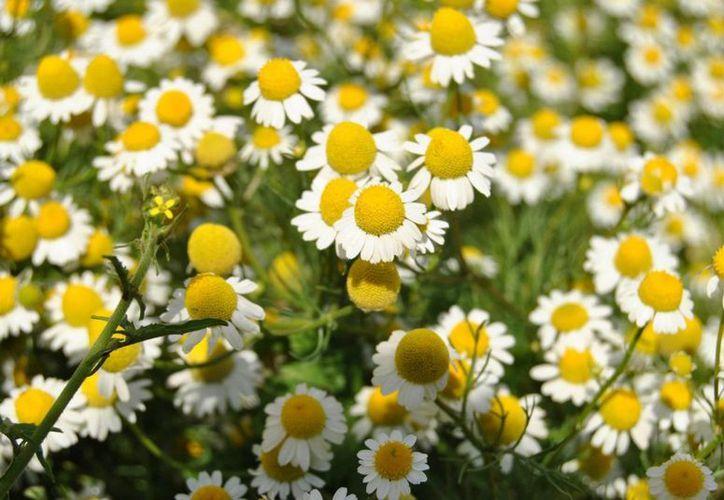 La planta de manzanilla no solo sirve para curar ciertos males, sino que tiene propiedades cosméticas. (plantaspedia.com)