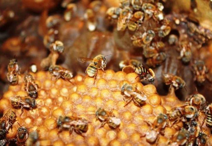 La producción de miel de los últimos meses en Yucatán es tan baja que no se ha podido exportar, alertaron socios de la cooperativa Sociedad Apícola Maya. (Milenio Novedades)
