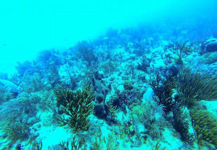 El 50% de los corales del arrecife frente a las costas solidarenses, sufre 'blanqueamiento'. (Cortesía/Amigos de Sian Ka'an)