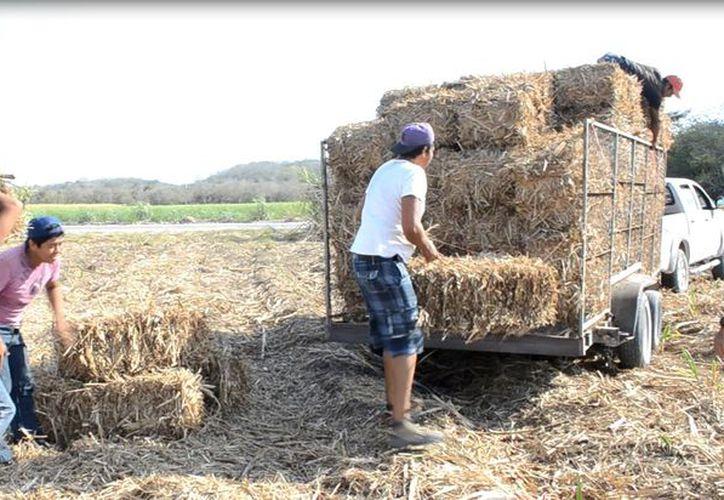Los ganaderos agradecen el apoyo de pacas de caña y melaza.  (Foto: Juan Rodríguez / SIPSE)