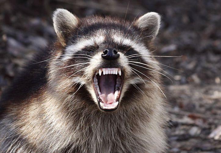 El comportamiento de los mapaches preocupa a las autoridades (Washington City Paper)