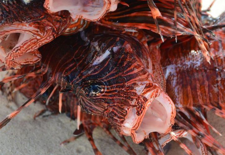 Punta Nizuc es una de las zonas en las que de manera reciente ha ingresado el pez león. (Redacción/SIPSE)
