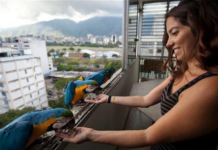 Vanessa Silva, de 38 años, alimenta guacamayas que vuelan todos los días a su apartamento de Caracas, Venezuela, en busca de alimento. (Agencias)