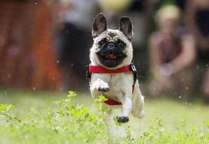 De verificarse el maltrato se asegura a la mascota para su resguardo temporal en centros de bienestar canino. (Agencias)