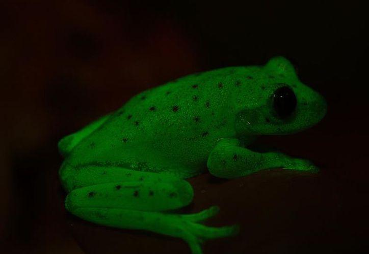 El anfibio también es conocido como rana puntuada. (EFE).