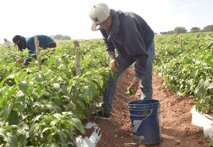 Cerca de 100 hectáreas de chile  jalapeño podrían perderse en caso de los productores no cuenten con el fertilizante para el cultivo. (Carlos Castillo/SIPSE)
