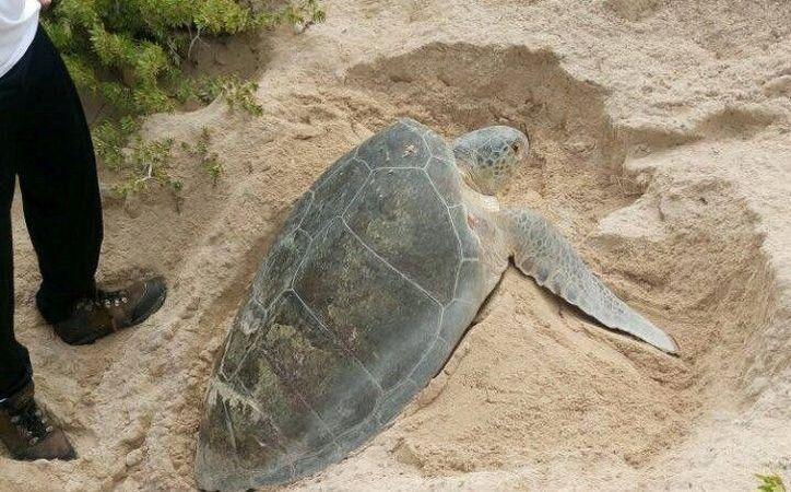 Una tortuga hembra arribó a una zona rocosa que impidió su retorno al mar. (Foto: Redacción)