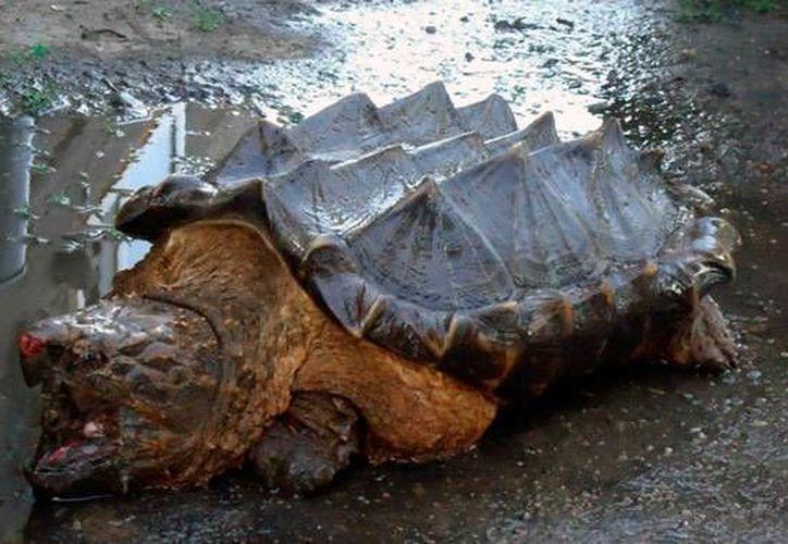 Muchos se pregunta  cómo una tortuga cocodrilo (Macrochelys temminckii) llegó hasta un punto del planeta donde no habita. (tuhistory.com)