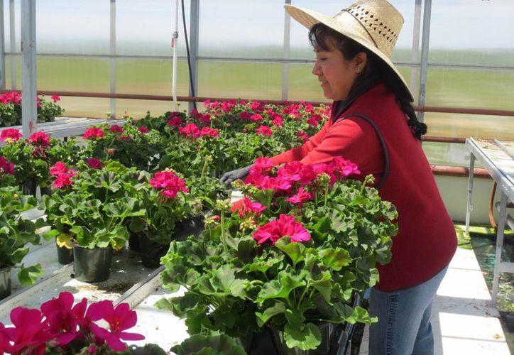 Las granjas de Canadá prefieren las manos de mexicanas para el cultivo de flores, pues lo hacen con dedicación y entrega. (Notimex)