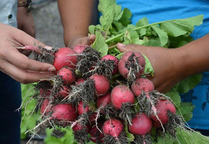 Las mujeres recibieron el apoyo de un paquete que implica la entrega de semilla, sistemas de riego e incluso capacitación. (Juan Rodríguez/SIPSE)