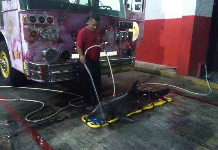 Elementos del H. Cuerpo de Bomberos de Cancún brindaron primeros auxilios al delfín. (Twitter/@charliearcee)