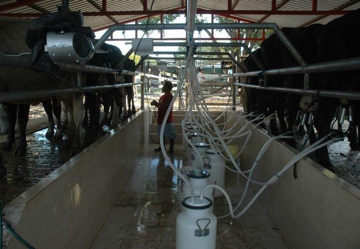 La producción de leche en la franja fronteriza genera un buen rendimiento en cuanto a litros de leche se refiere. (Edgardo Rodríguez/SIPSE)