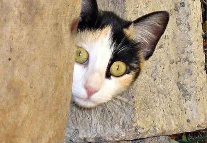 Los gatos abandonados buscan donde refugiarse porque nacieron en un hogar y luego lo dejan. (Internet)