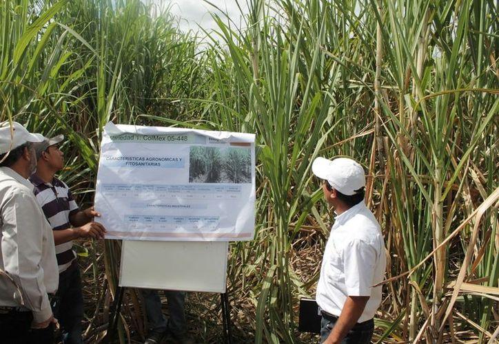 Personal del Instituto Nacional de Investigaciones Forestales Agrícolas y Pecuarias presentó una serie de variedades óptimas para este cultivo. (Edgardo Rodríguez/SIPSE)