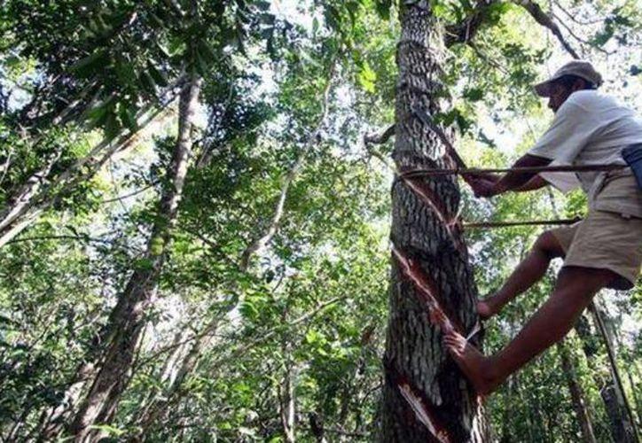 Reforestación y conservación de arboles para extracción del chicle.