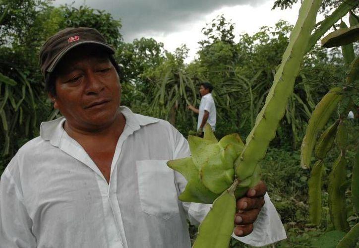 Como consecuencia de la inusual sequía que se presentó en el sur del estado, la producción tuvo una caída del más del 50 por ciento. (Edgardo Rodríguez/SIPSE)