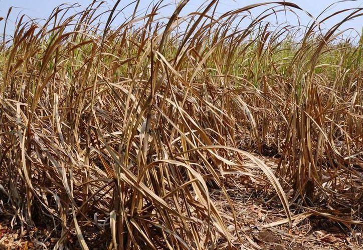 El campo quintanarroense está en riesgo debido a una severa crisis. (Carlos Castillo/SIPSE)