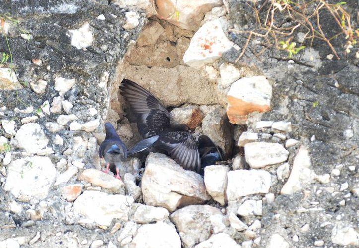 Las palomas son de las aves que han proliferado en la ciudad, hasta convertirse en plaga. (Milenio Novedades)