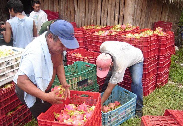 Un promedio de 100 campesinos se benefician de este cultivo. (Redacción/ SIPSE)