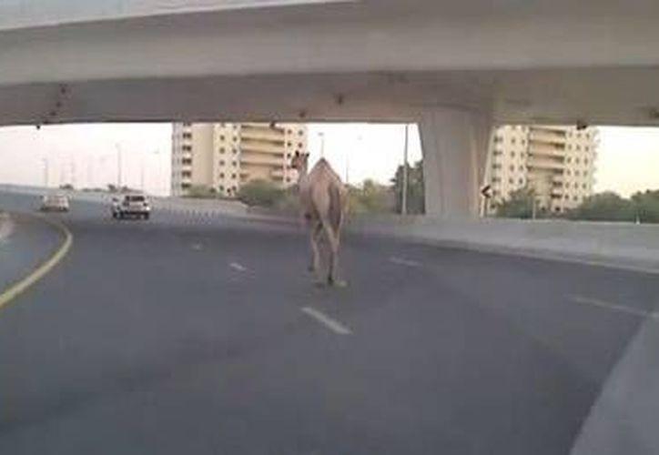 Un camello en Dubai en una concurrida avenida de la ciudad. (24horas.cl)