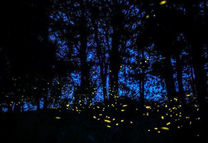 Los bosques de Tlaxcala son conocidos por sus santuarios de luciérnagas, los cuales ofrecen un mágico espectáculo por las noches. (Imagen tomada de .ciudadypoder.mx)
