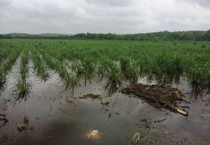 Los escurrimientos pluviales no permiten el acceso de maquinaria y cortadores, provocando una disminución del volumen cañero. (Edgardo Rodríguez/SIPSE)