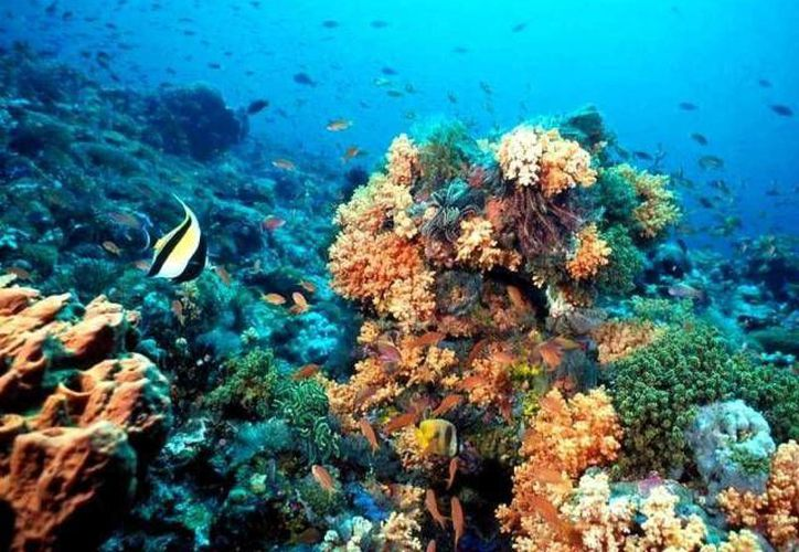 A diferencia de los arrecifes de aguas templadas -como el de la imagen-, los de aguas frías resisten las bajas temperaturas del fondo del mar. (Archivo/SIPSE)