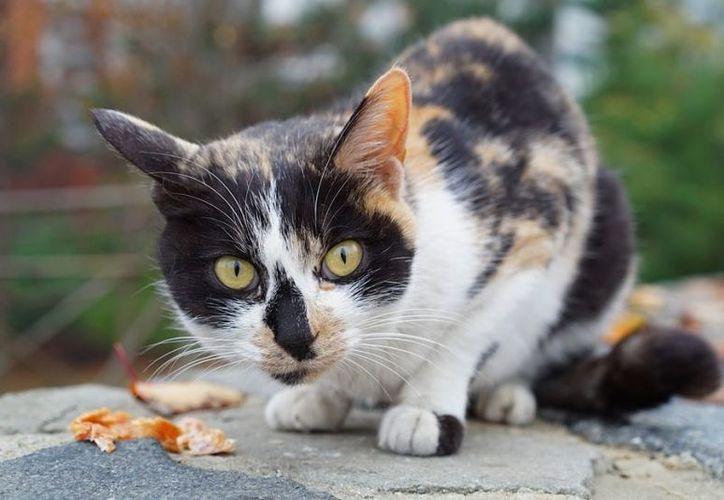 Pulgas y garrapatas pueden infectar al gato con una bacteria llamada Bartonella. (Foto: Contexto)
