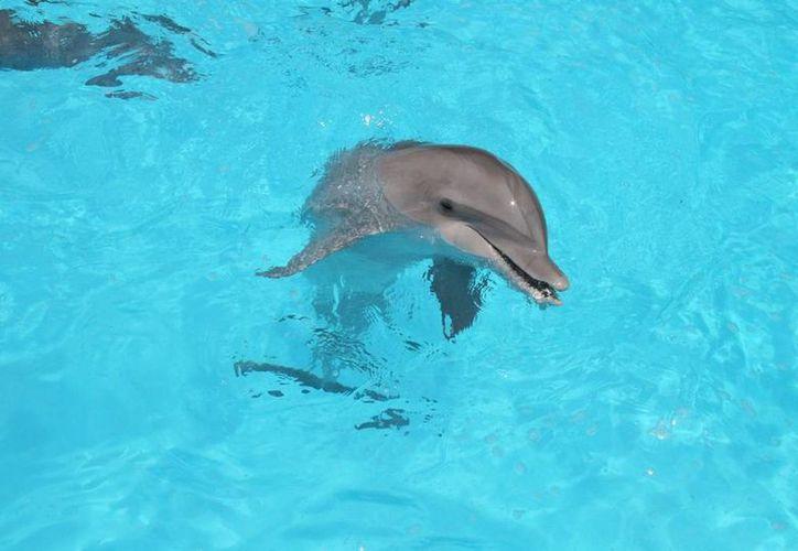 Asociación civil menciona que los delfines no están en peligro de extinción. (Jesús Tijerina/SIPSE)
