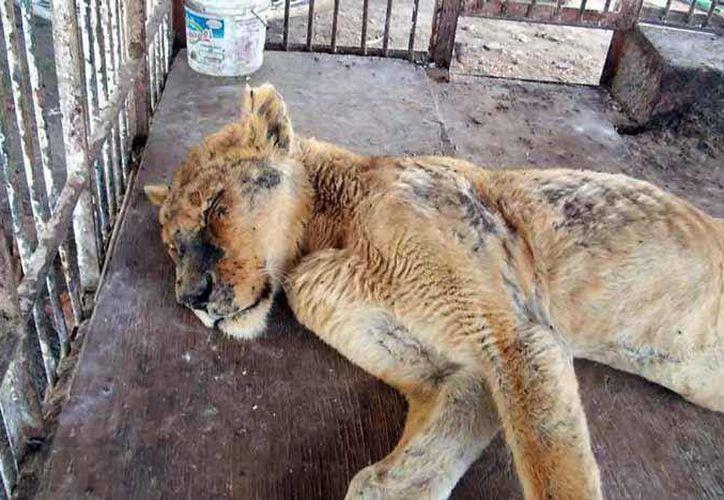De acuerdo con la publicación, la leona ya no camina. (Foto: Facebook)