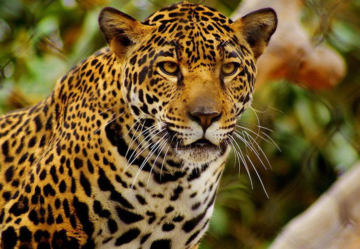 En la carretera Cancún – Tulum han detectado hasta cinco jaguares muertos. (Foto: Contexto/Internet)