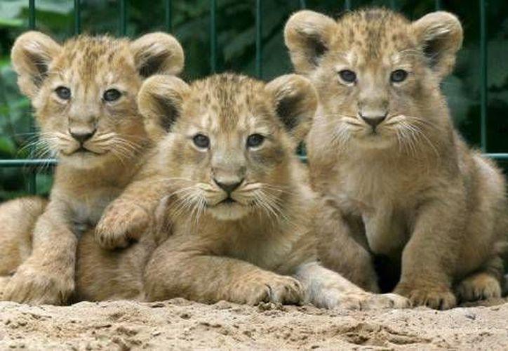 Los animales que eran exhibidos en la vía publica eran cachorros de león, tigre y jaguar, menores de tres meses de edad. (Foto de contexto/Internet)