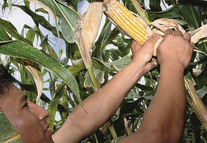 Cuando existe demasiada lluvia en el maíz, al momento de madurar, las puntas de la mazorca, se abren permitiendo la entrada de agua. (Carlos Castillo/SIPSE)