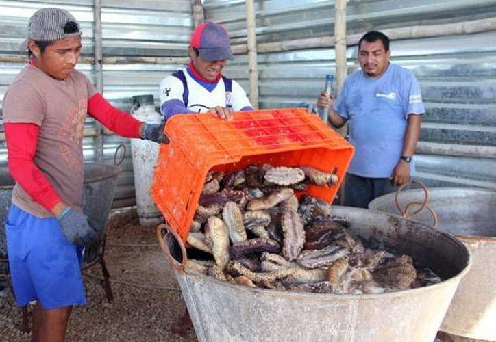 El pepino es una pesquería que se abordó en la reunión. (Milenio Novedades)