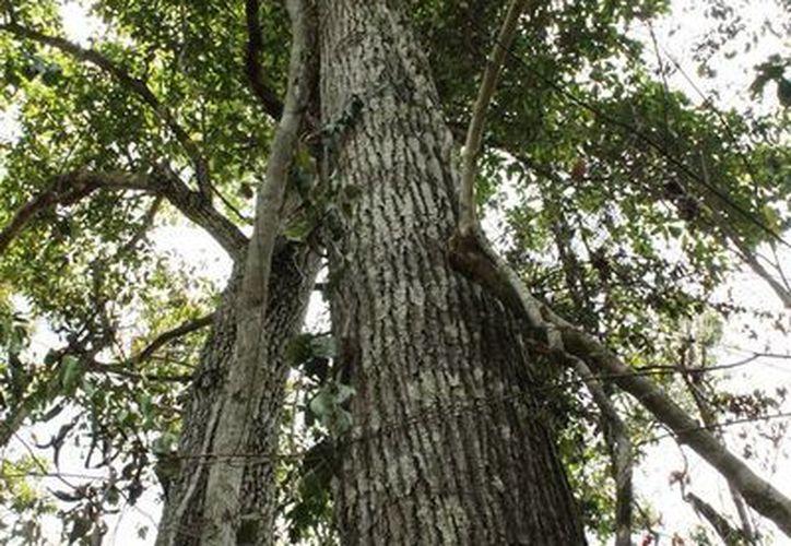 Los acahuales son vegetación forestal que surge de manera espontánea en terrenos que estuvieron en uso agrícola. (Edgardo Rodríguez/SIPSE)