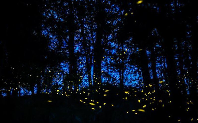 Buscan preservar 39 la magia 39 de las luci rnagas en bosques for Espectaculo de luciernagas en tlaxcala