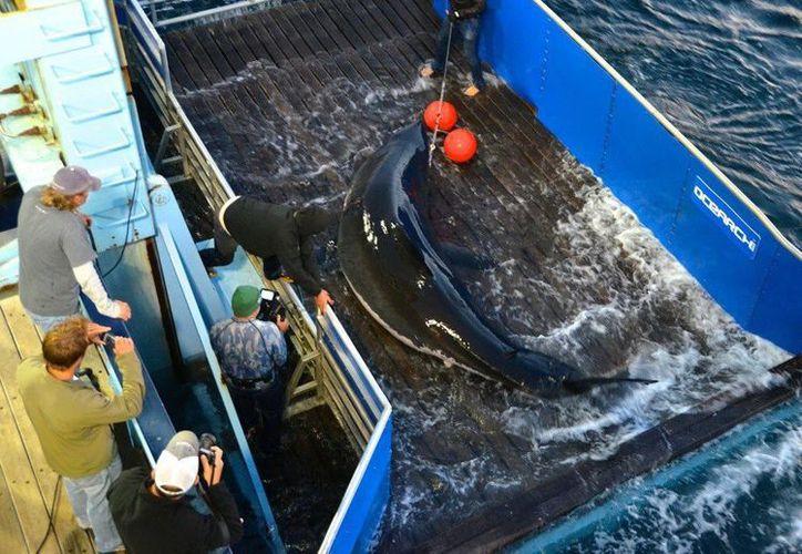 """Foto cedida divulgada en septiembre de 2012 por OCEARCH que muestra al tiburón """"Mary Lee"""" cuando fue capturado para implantarle un GPS, antes de liberarlo en aguas de Cabo Cod, Massachusetts (EU). """"Mary Lee"""" y """"Genie"""", dos ejemplares del temido gran tiburón blanco, se pasearon este martes 8 de enero de 2013, frente a costas de Florida. (EFE/Archivo)"""