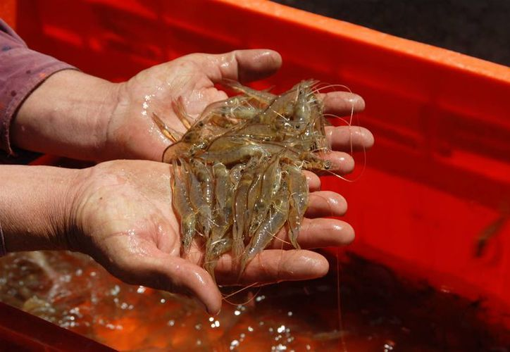 La Sagarpa considera que en los últimos años, el precio del camarón ha sufrido disminución. (Foto de Contexto/Internet)