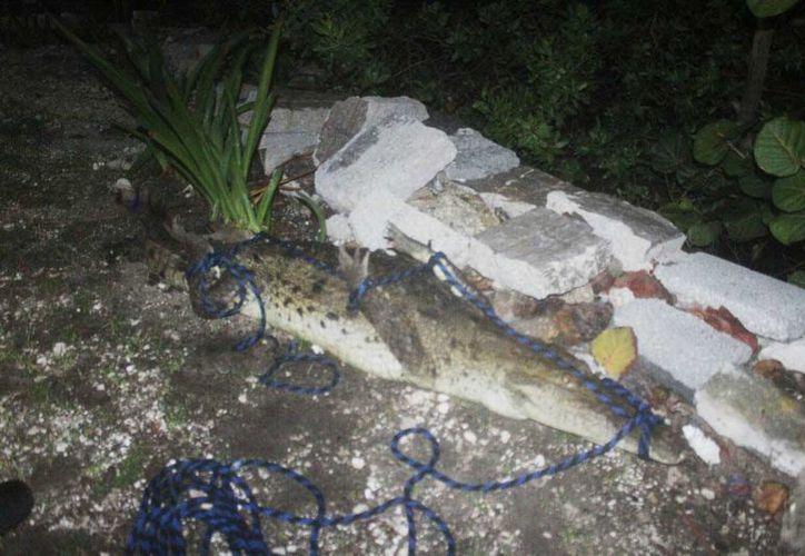El cocodrilo fue amarrado y trasladado por los bomberos para liberarlo en la laguna Nichupté. (Redacción/SIPSE)