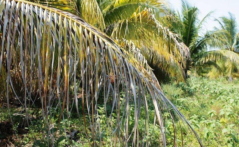 El ácaro rojo es nocivo para los plantíos de palma de coco, palma de ornato, plátano y la africana. (Edgardo Rodríguez/SIPSE)