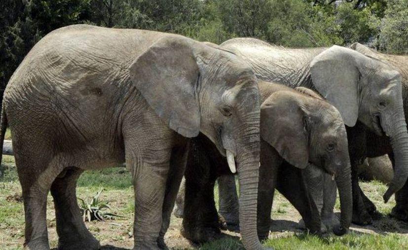 Según el mandatario del país africano, ya hay muchos de estos animales. (Cuartoscuro)