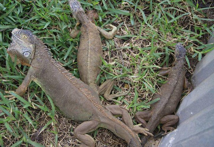 Existe un gran número de iguanas en los terrenos de la preparatoria. (Luis Soto/SIPSE)