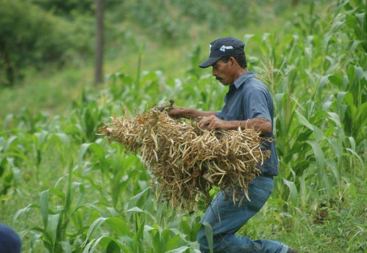 La baja cotización y la importante producción de frijol hacen que el grano se venda hasta en cuatro pesos en la comunidad de Caña Brava. (Carlos Castillo/SIPSE)