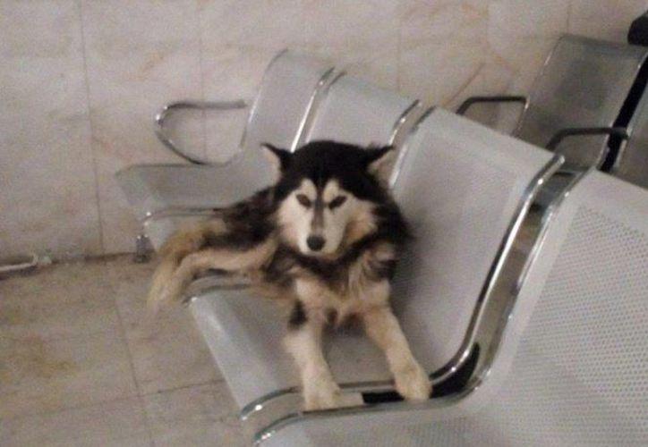 El perro raza husky espera a su dueño desde hace 5 días en un hospital de nuevo León.  (Foto: Vanguardia)