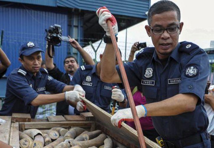 Un oficial de Aduanas malasio muestra varios colmillos de elefantes incautados en Port Klang, cerca de Kuala Lumpur, capital de Malasia. (EFE)
