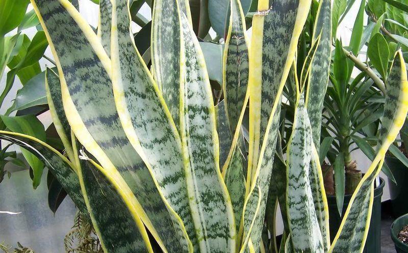 Lengua de vaca sansevieria trifasciata planta que cura for Como se planta la lavanda