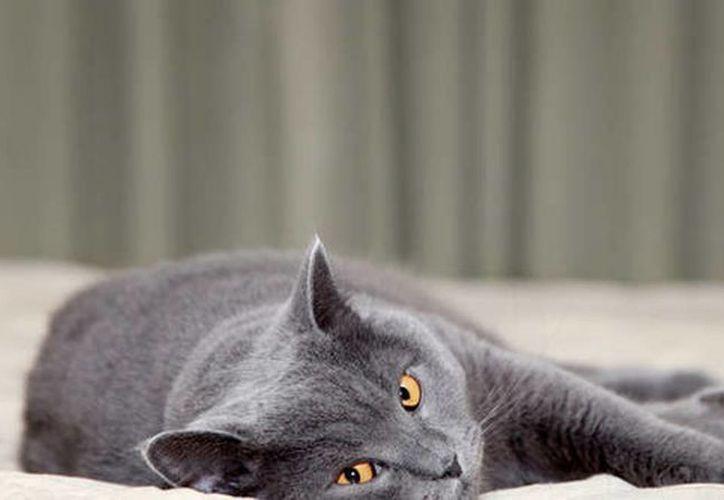 Hoy se celebra el Día del gato en el mundo, el animal más venerado por los diseñadores y artistas. Imagen de contexto de un felino con mirada misteriosa y enigmática. (ANSA latina)
