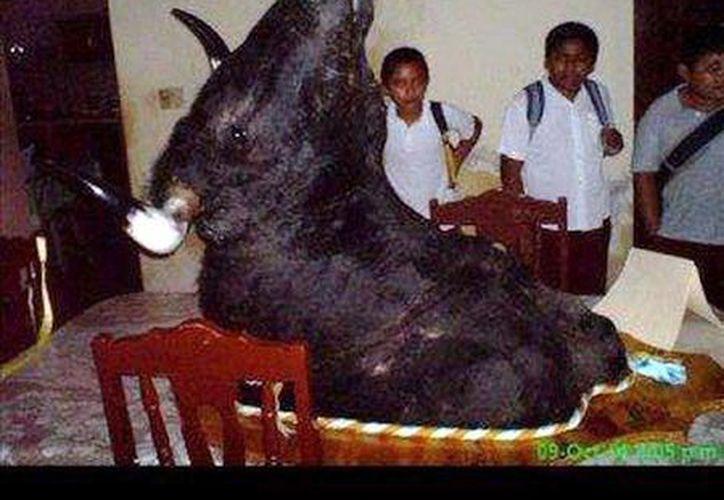 """El famoso toro de los torneos de lazo """"El Sinaloense"""", sacrificado en agosto de 2008 en Homún. (Jorge Moreno/SIPSE)"""