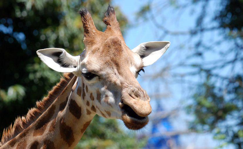 Las jirafas podrían desaparecer en 10 años si no se implementa un plan para protegerla. (all-free-photos)