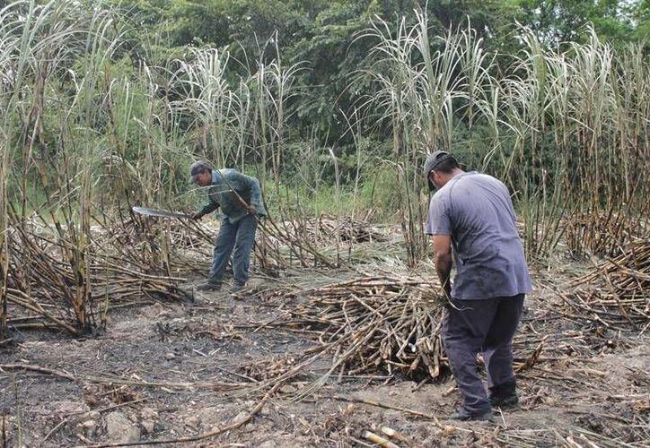Si la cotización del precio del azúcar se mantiene de igual manera para el final de la zafra, el pago para los productores cañeros bajará estrepitosamente, aseguran. (Edgardo Rodríguez/SIPSE)